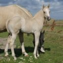 Western paarden te koop